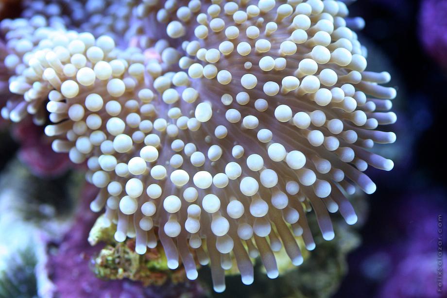 macro-corals-reef-felix-salazar10