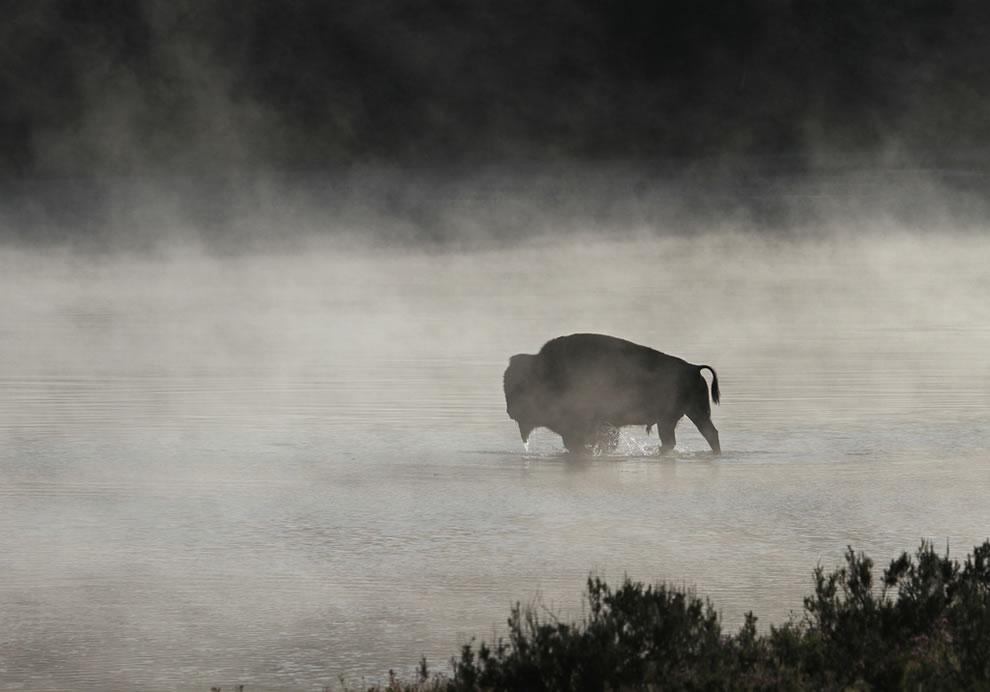 Bull-bison-crossing-Yellowstone-River