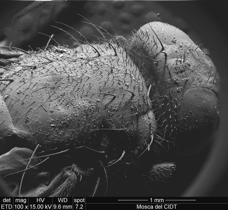 fly-under-microscope-ivan-jimenez-boone