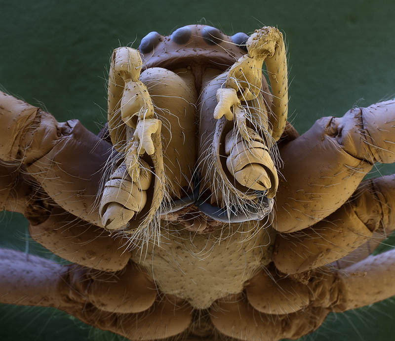 macro-spider-head-electron-microscope-oliver-meckes