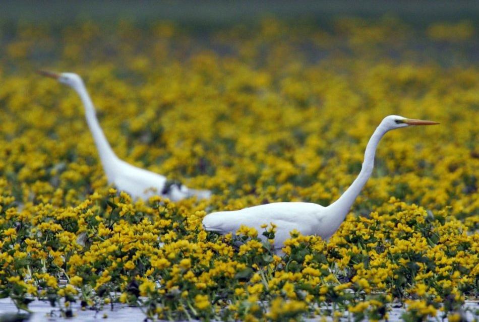 Biebrza River, Biebrza National Park - a white heron / Piotr Skórnicki / Agencja Gazeta