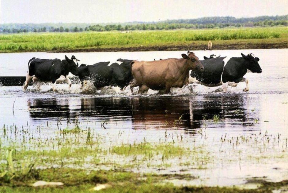 """Biebrza River, Biebrza National Park - Brzostowo village is famous for """"happy cows"""" eco-program / Agnieszka Sadowska / Agencja Gazeta"""