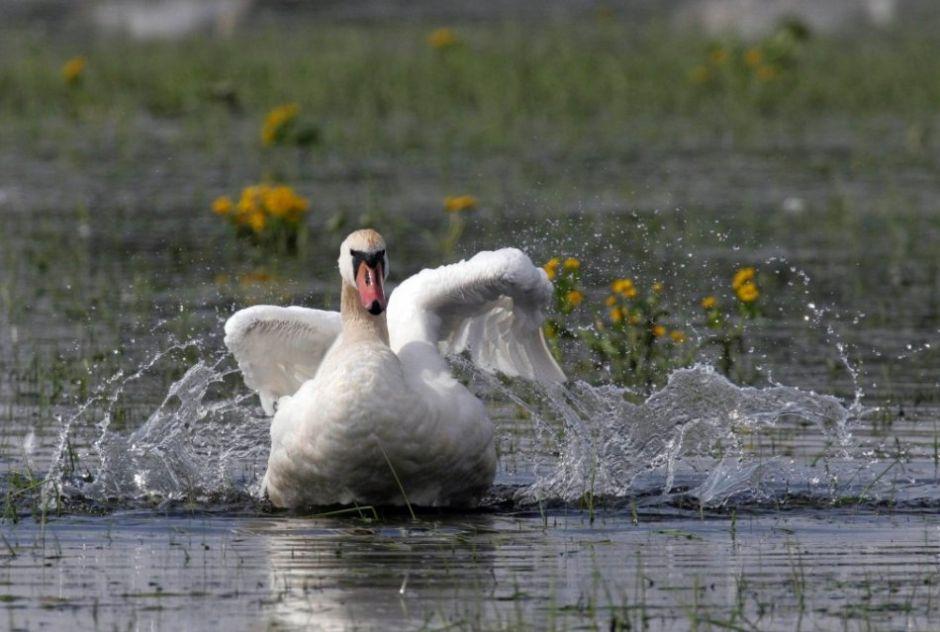 Biebrza River, Biebrza National Park - a swan / Piotr Skórnicki / Agencja Gazeta