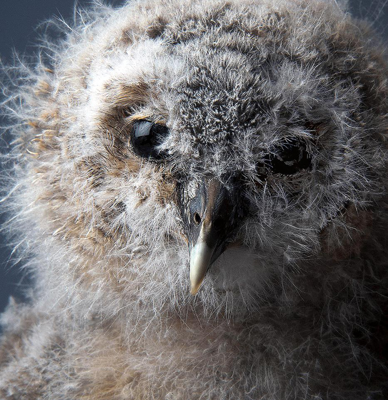 2smithsonian-photo-contest-naturalworld-fluffy-owl-baby-phillip-pilkington