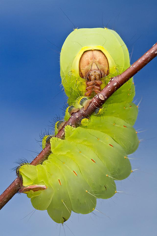 5smithsonian-photo-contest-naturalworld-catapillar-green-macro-colin-hutton