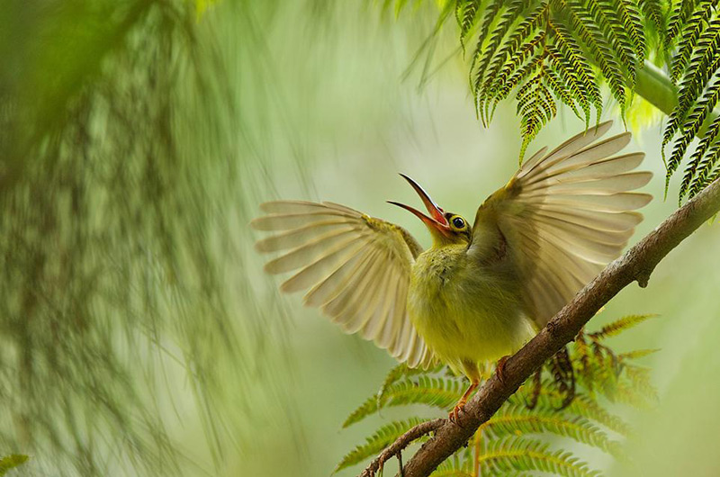6smithsonian-photo-contest-naturalworld-bird-spiderhunter-wings-bjorn-olesen