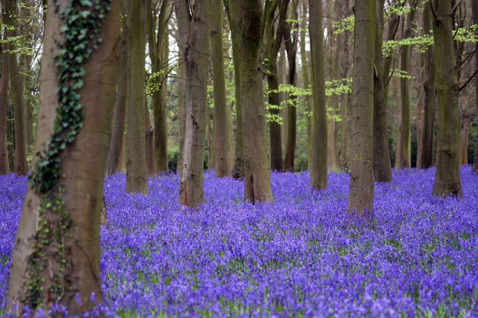 "Bluebells at Badbury Hill. BBC wrote, ""The brevity of the bloom gives the sense of the circus coming to town for a few days only. Transience is everywhere at play: in the way that the light falls and changes the color of the woodland floor. When the sun's high at noon, there's a sapphire dazzle that leaves an imprint on your retina when you look away. The poet Gerald Manley Hopkins was fascinated by bluebells. He wrote of the 'blue-buzzed haze' and how 'woodland banks wash wet like lakes' lines that make instant sense when you visit a bluebell woodland like this one."" Photo by Paul Appleton"