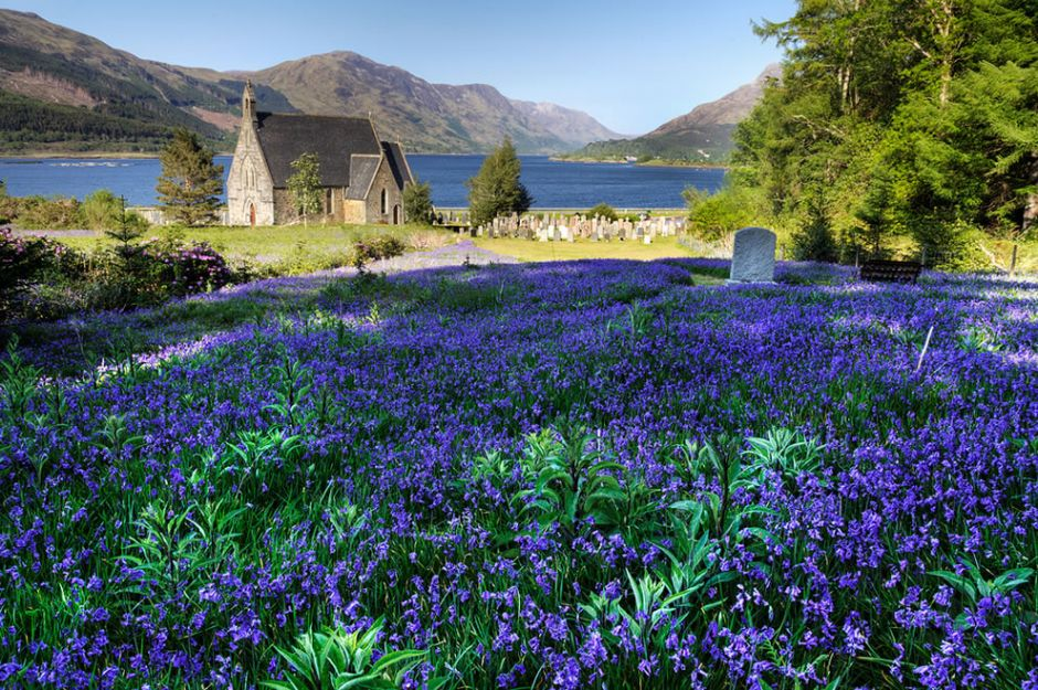 Bluebells in the highlands of Ballachulish, Scotland. Although these wildflowers can be planted, they are a woodland plant. So when you see bluebells in a field, it tends to mean that the area was once a woods before man moved it and cut it down. Off the coast of Pembrokeshire in southwestern Wales, beautiful bluebells bloom across the open fields of Skomer island which used to be wooded. Photo by Jim Monk