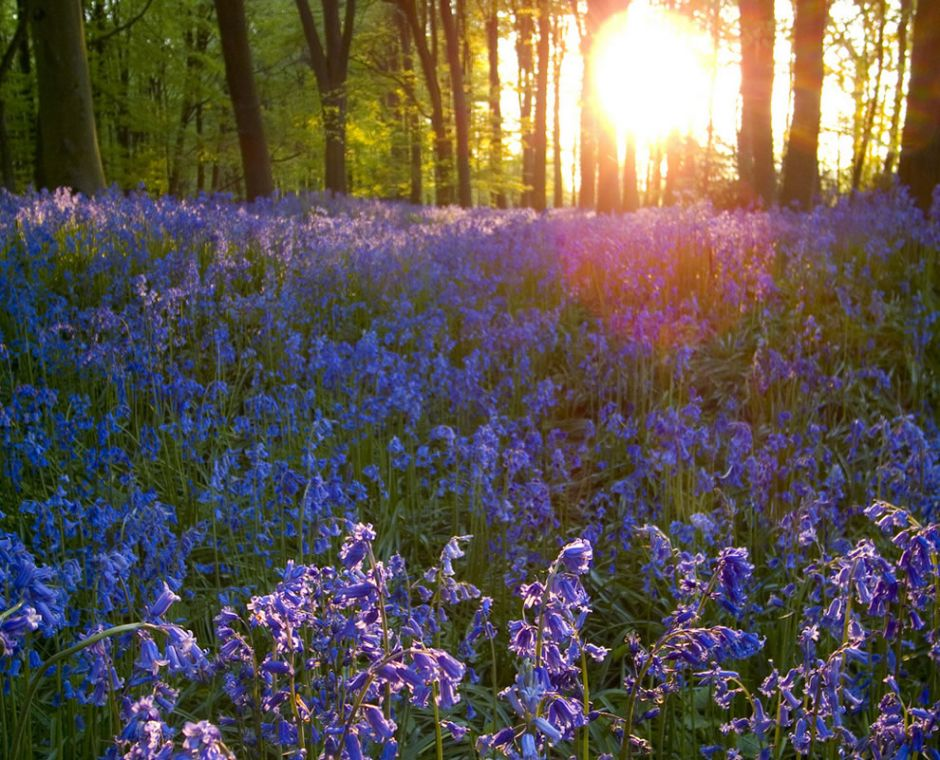 "Bluebells in the evening. Mark Twain said, ""You cannot depend on your eyes when your imagination is out of focus."" Photo by Christopher_Hawkins"