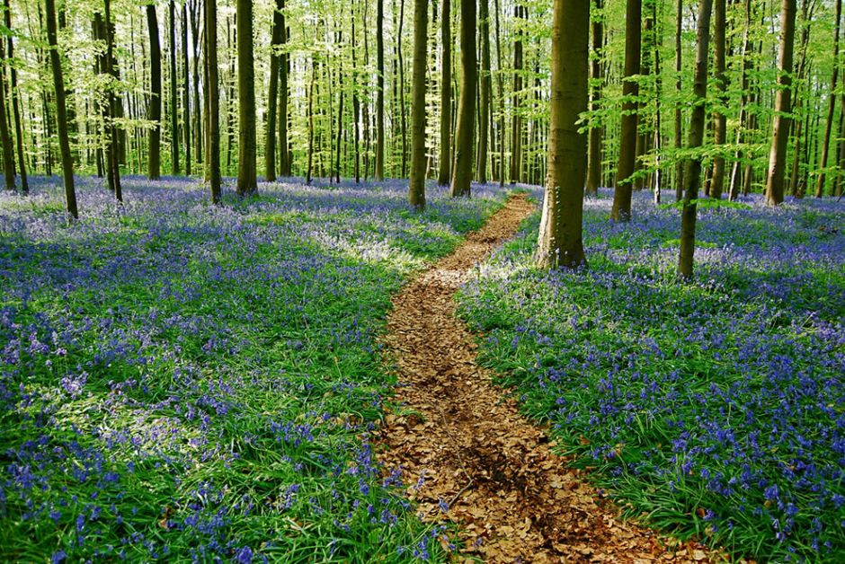 The bluebells path at the end of an afternoon in Belgium. The bluebells of Halle's woods has been called one of Belgium's best kept secrets. Photo by Vincent Brassinne