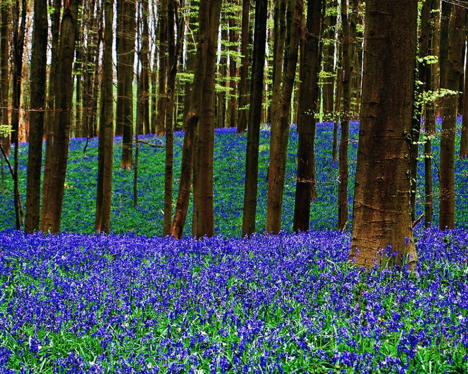 "The photographer said bluebell time in the Belgium forest shows the ""three layers of the enchanted Spring."" Photo by Vincent Brassinne"