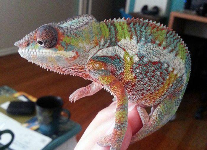 chameleon_06