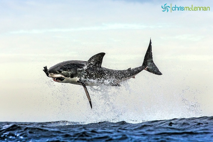 chris-mclennan-great-white-sharks-breaching