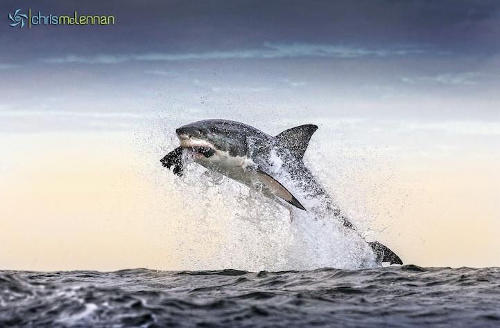 shark11