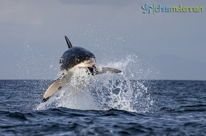 Great Whitr Shark, Seal Island, False Bay.  South Africa