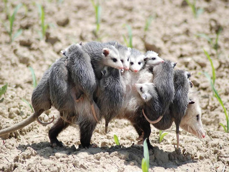 "Overworked mom possum, babysitter still wanted. Mom to kids: ""I'm going to give you until the count of three… 1.. 2.. 2 and a half… 2 and three quarters."" Photo  via O Blog do Dandan"