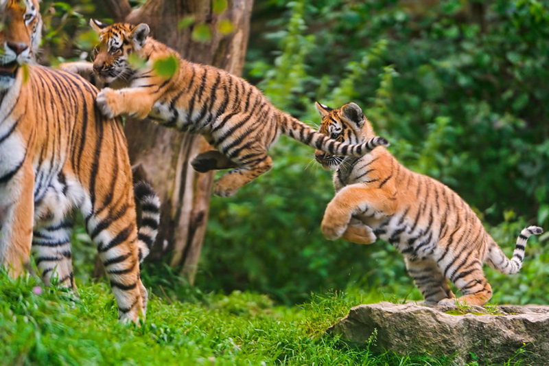 "Twin tigers jumping on mom, but most moms don't complain. You can expect mom to say things like ""No jumping on the bed (couch, seat)."" Photo by Tambako the Jaguar"