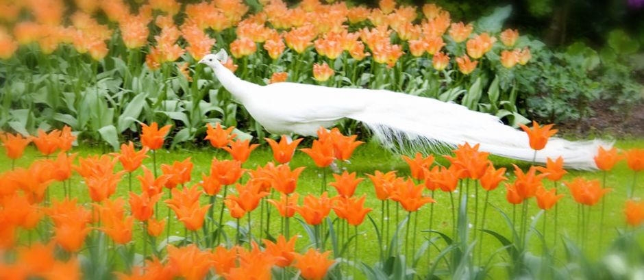 White peacock in the orange tulips at Keukenhof. Tulip flowers usually have 2-6 leaves, but some species have up to 12 leaves. Generally tulips have one flower per stem, yet there are a few species that have up to 4 flowers on a single stem. Photo by ♥siebe ©