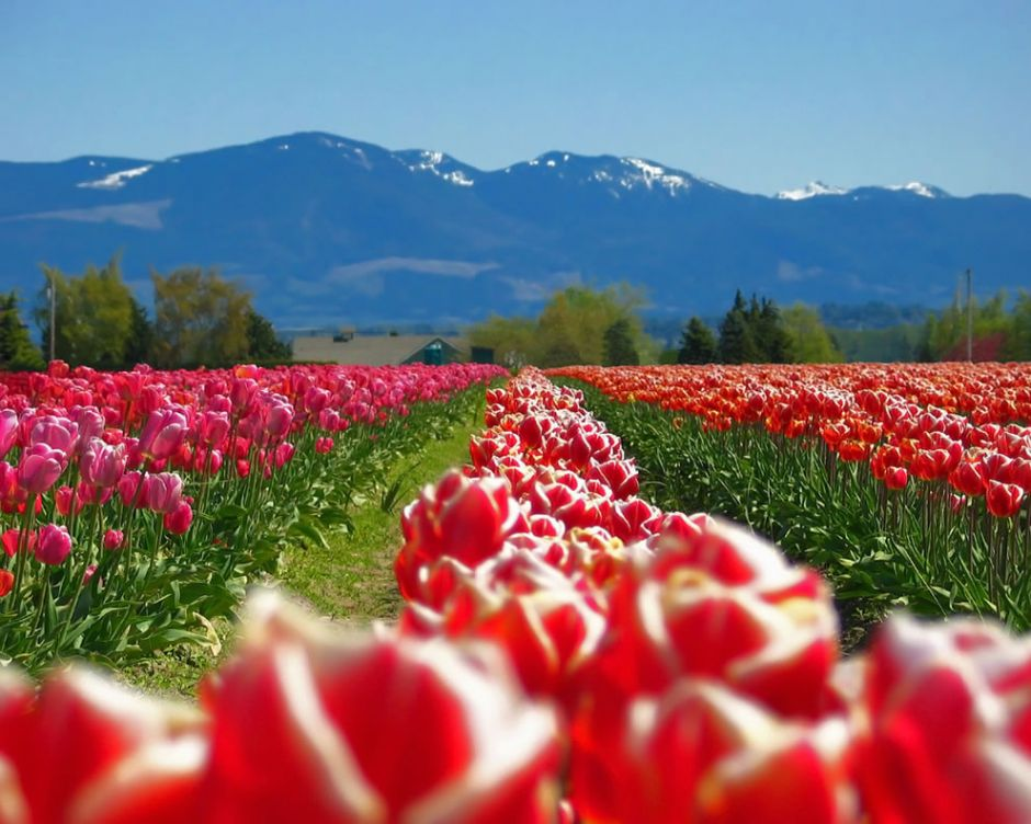 """Skagit Valley Tulip Festival. According to Wikipedia, """"Variegated varieties admired during the Dutch tulipomania gained their delicately feathered patterns from an infection with the tulip breaking virus. While the virus produces fantastically colorful flowers, it also causes weakened plants prone to decline. Today the virus is almost eradicated from tulip growers' fields. Tulips that are affected by mosaic virus are called """"broken tulips""""; while such tulips can occasionally revert to a plain or solid coloring, they will remain infected with the virus. While some modern varieties also display multicolored patterns, the patterns result from breeding selection for a genetic mutation."""" Just the same, variegated tulips symbolize """"beautiful eyes because of their gorgeous color patterns."""" Photo by Peter M Graham"""