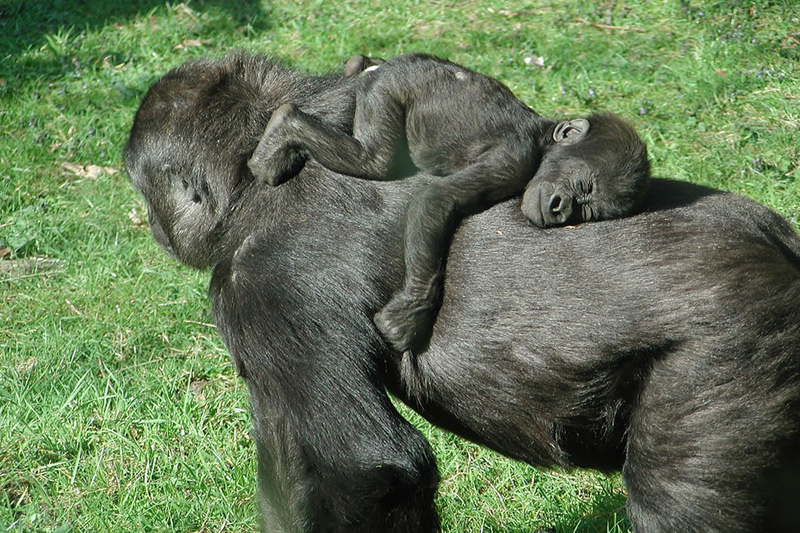Baby gorilla sleeping on mom's back, cause mom says to get at least 8 hours of sleep. Photo by bartdubelaar