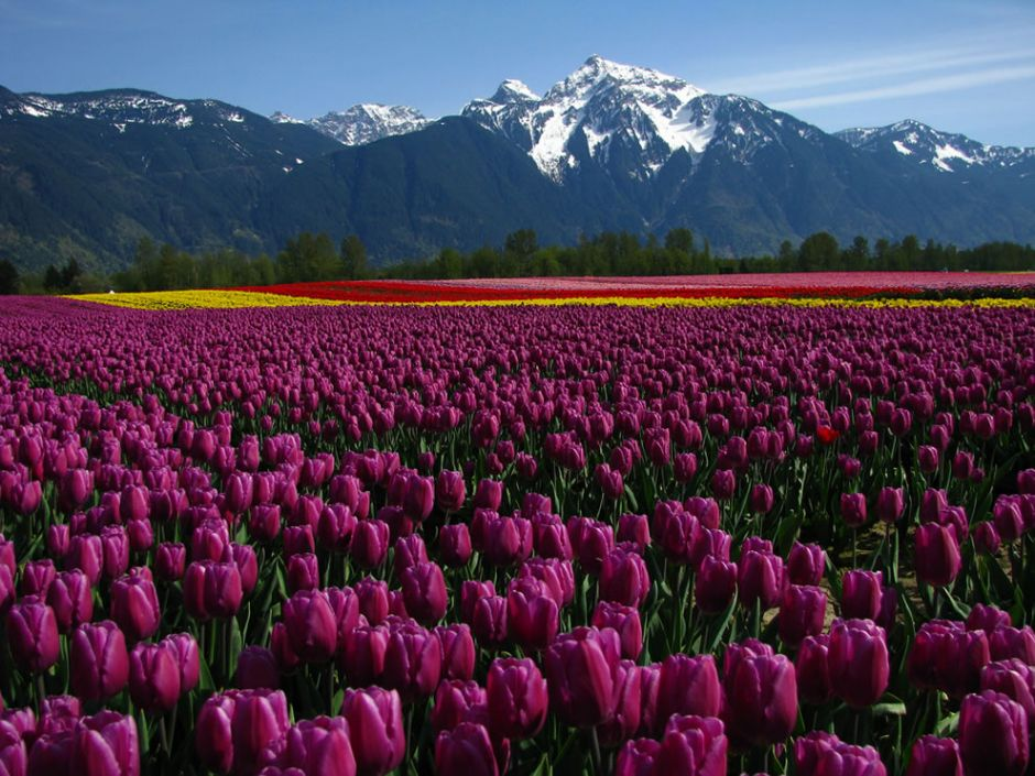 """Tulip fields on Seabird Island, Agassiz, British Columbia. Tulip festivals are held in many locations around the world. These gorgeous and beautifully-fragrant flowers were once so popular that they sparked a speculative frenzy now called """"tulip mania."""" During this time, tulips were so expensive that they were treated as a form of currency. Photo by Dru!"""