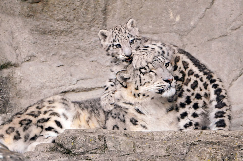 "Mom snow leopard: ""You are getting on my last nerve."" Photo  by Tambako the Jaguar"