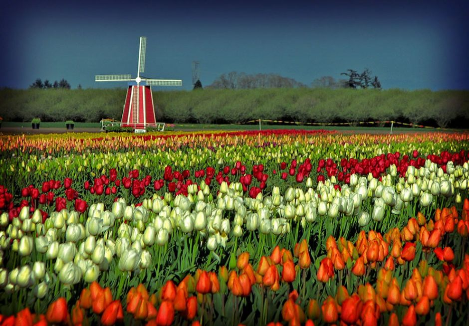 """Wooden Shoe Tulip Festival in Oregon. Once upon a time, tulips crashed the Dutch economy. During the 1600s, tulips were so wildly popular in Holland that social status was measured by exotic tulips. """"At the peak of tulip mania, in March 1637, some single tulip bulbs sold for more than 10 times the annual income of a skilled craftsman. It is generally considered the first recorded speculative bubble."""" Photo by Misserion"""