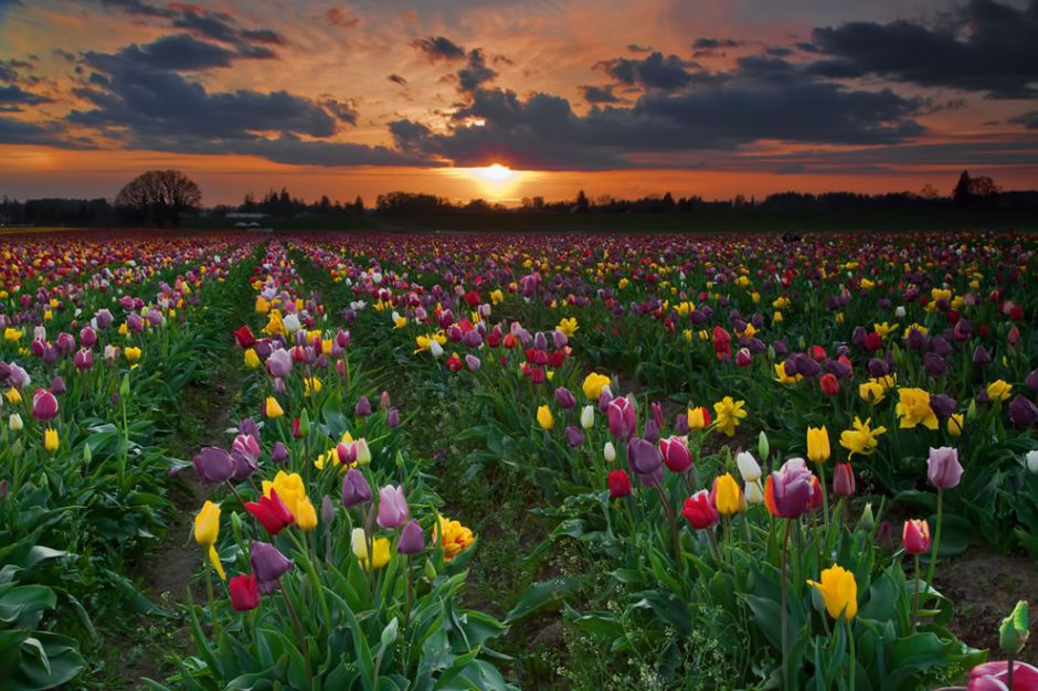 """Tulip fields at sunset. Did you know that tulips come in many colors, except for pure blue? Tulips with """"blue"""" in the name usually have a violet hue. Photo by stokes rx"""