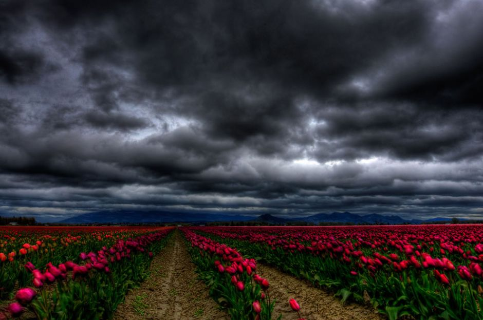 """""""The winds of Skagit."""" The Skagit Valley Tulip Festival in Washington has been held every April since 1983. Photo  by Ryan Heaney"""