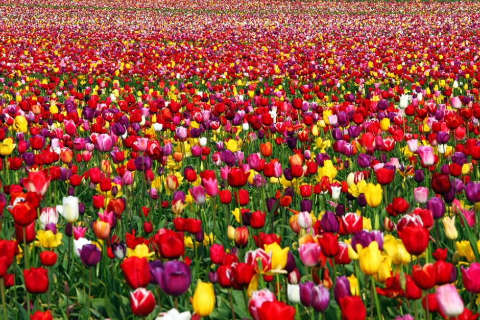 """""""Joyful Runway."""" Wikipedia states, """"In Persia, to give a red tulip was to declare your love. The black center of the red tulip was said to represent the lover's heart, burned to a coal by love's passion."""" More specifically, to give a red tulip was to say """"As the redness of this flower, I am on fire with love."""" And """"to give a yellow tulip was to declare your love hopelessly and utterly."""" Photo by Ian Sane"""