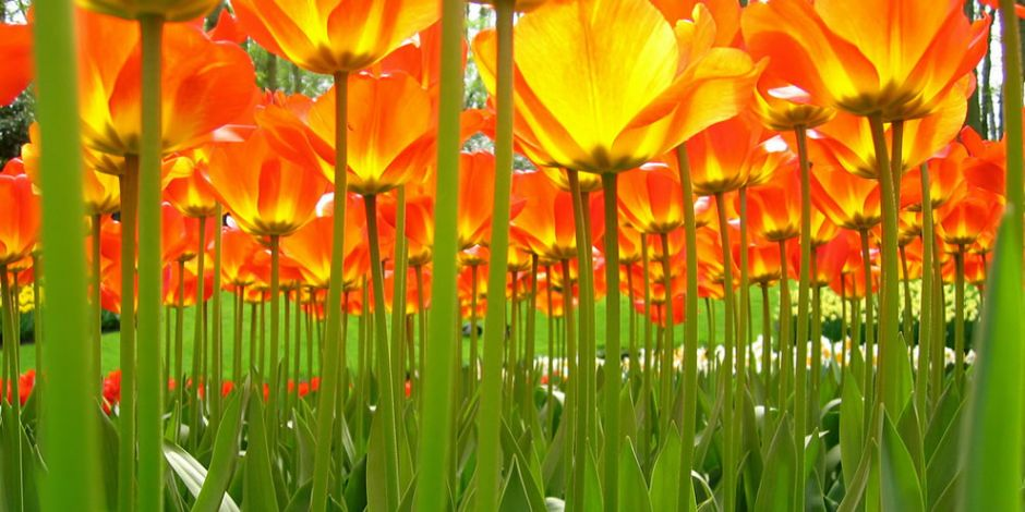 Under the tulips. Photo by ♥siebe ©