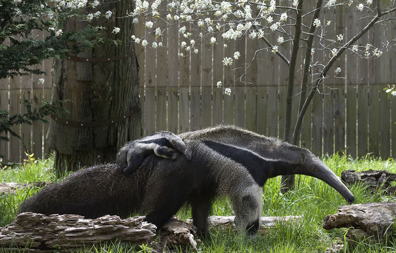 Baby Giant Anteater piggyback-riding mom. Photo by Smithsonian's National Zoo