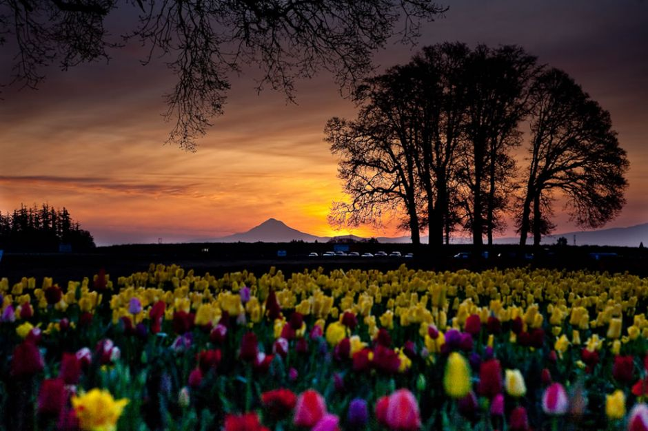 Wooden Shoe tulip farm, tulip field during dawn, not HDR. Photo by GeoFX