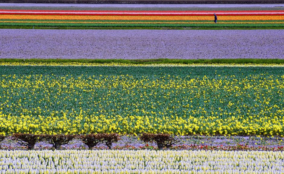 """Dutch Color Fields. The photographer noted, """"Flower fields in North-Holland comprising various blossoming flower species."""" Photo by Peter Femto"""