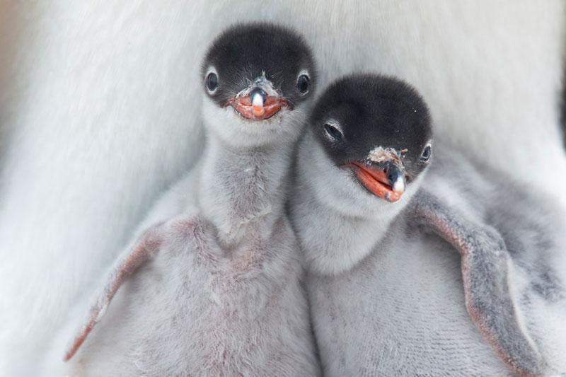 gentoo-chicks