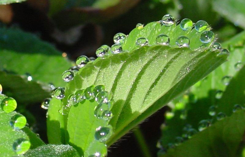 guttation-droplets-on-leaves-4