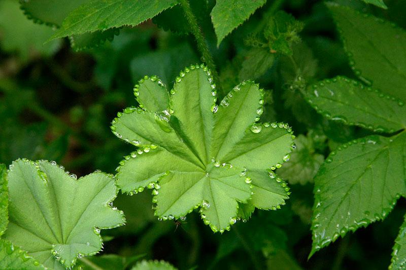 guttation-droplets-on-leaves-8