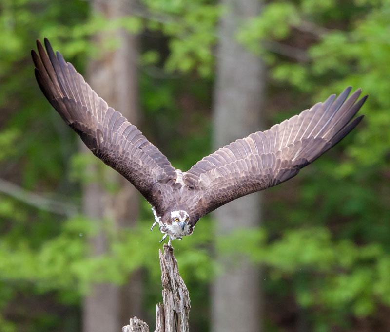 osprey-launching