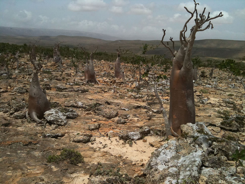 Another-Socotra-forest