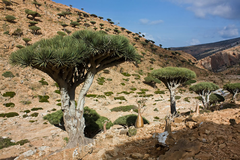 Dragons-blood-tree-is-the-symbol-of-Socotra