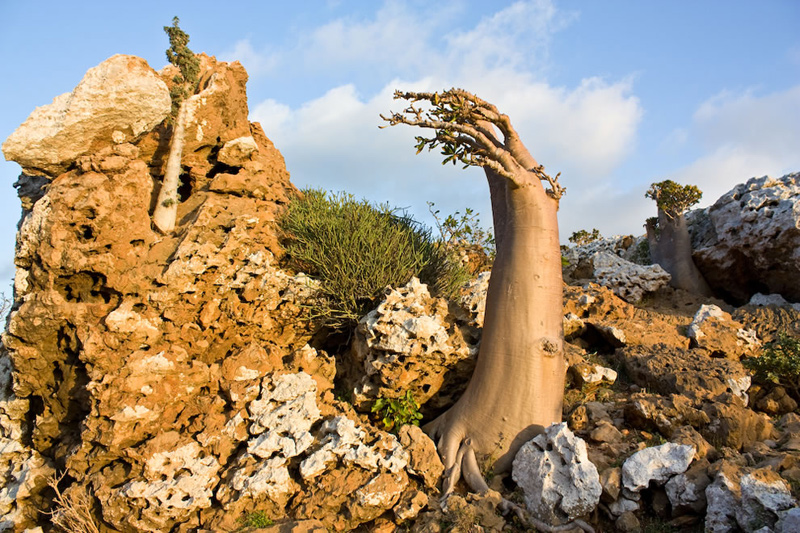 Socotra-endemic-tree-species-Dendrosicyos-socotrana-the-cucumber-tree