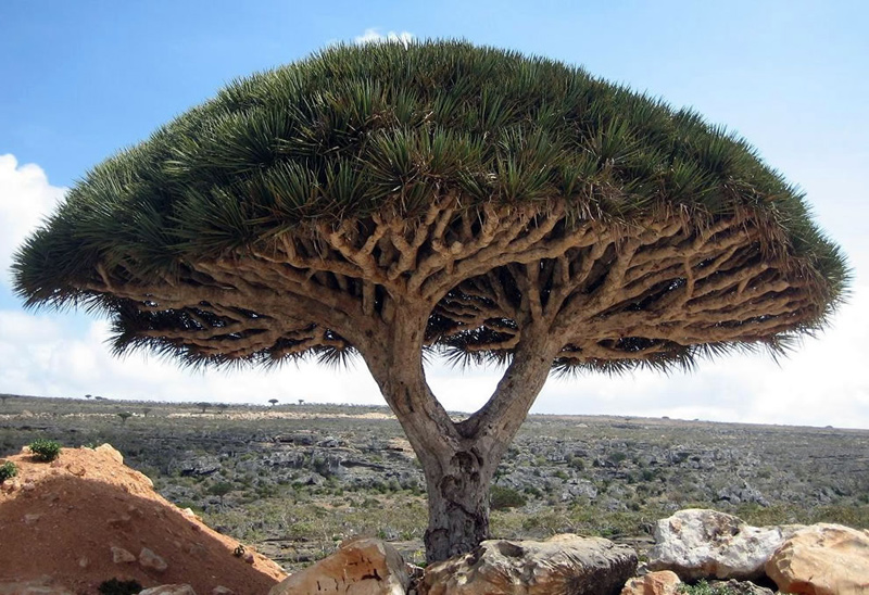 Socotras-most-unusual-and-famous-tree-the-dragons-blood-tree