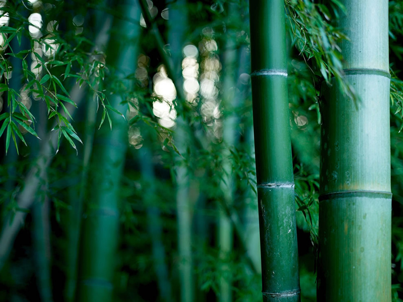 Bamboo-thicket