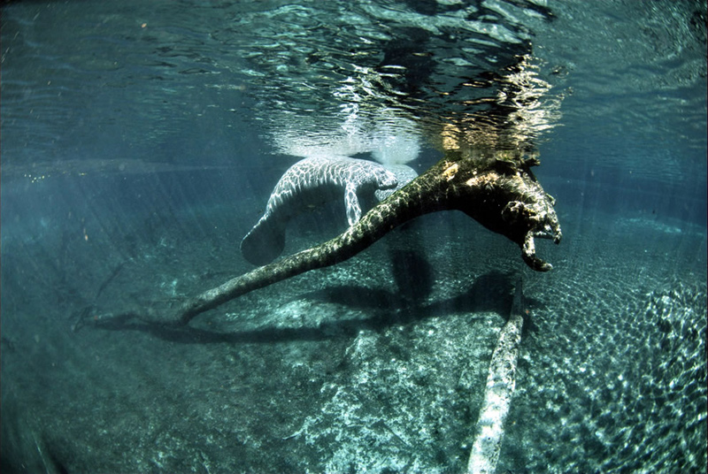 Crystal-River-National-Wildlife-Refuge-established-in-1983-specifically-protects-the-endangers-West-Indian-Manatee