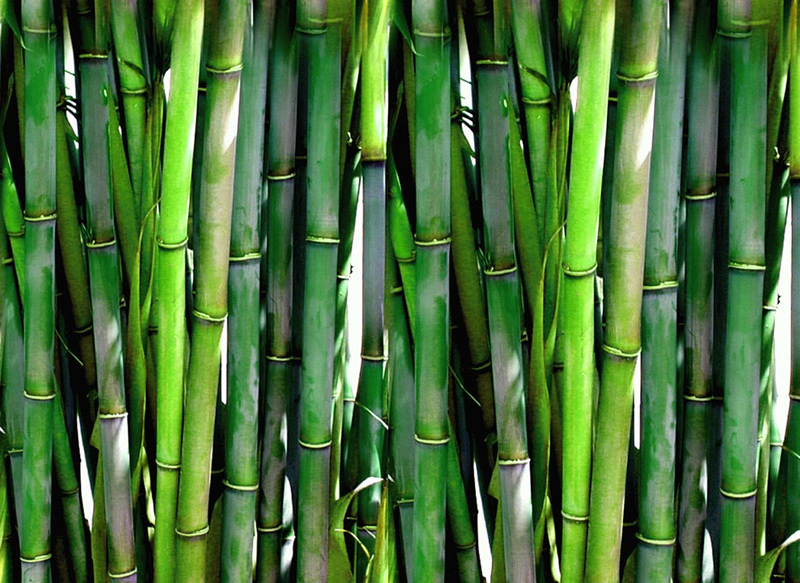 Dense-green-bamboo-forest