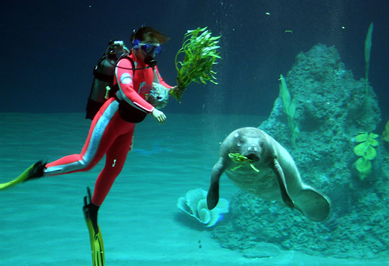 Diver-feeding-a-baby-manatee