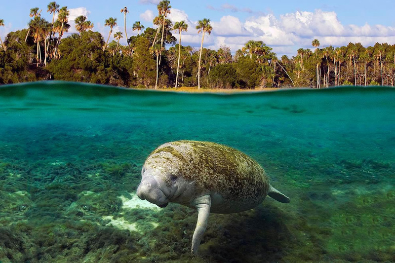 a look at the habitat of the west indian manatees Page 4-29 west indian manatee multi-species recovery plan for south florida habitat manatees occur in both fresh- and saltwater habitats within tropical and.