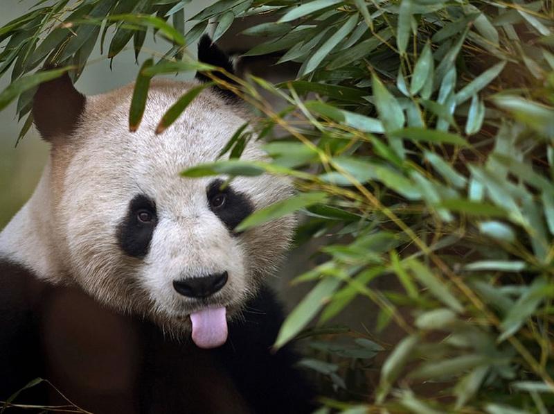 Panda-feeding-on-bamboo