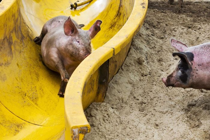 NETHERLANDS-ANIMALS-PIG