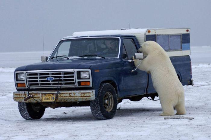 polar_bear_04